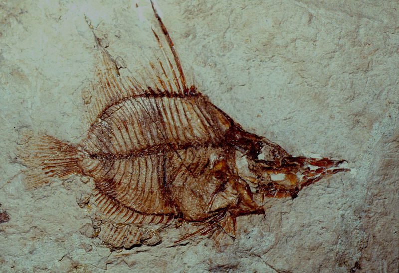 2013-02-12 Enoplosus_pygopterus_fossil