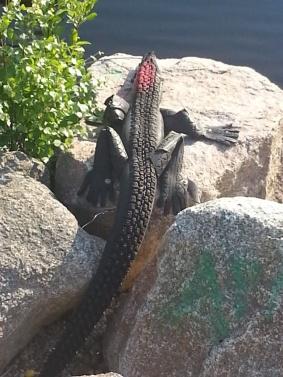 En krokodil/alligator/kajman gjord av dubbdäck och cykeldäck bevakar överfarten till Sagoön