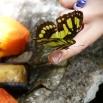 Fjärilsviskaren nära sitt knep, papayan