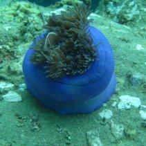 Svincoola havsanemoner med den obligatoriska fisken i mitten (tror inte att just den här är en clownfisk, men vad vet jag...)